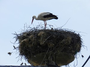 Storks feeding their young